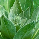 rosa krople kwitną zielony nieotwarty niezwykłego Fotografia Stock
