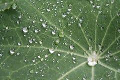 Rosa krople na Indiańskim cress, Tropaeolum majus Zdjęcie Royalty Free