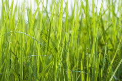 Rosa krople na jaskrawym - zielona trawa zdjęcia stock