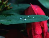 Rosa krople w mili liściach fotografia stock
