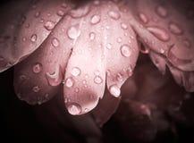 rosa krople wzrastali Fotografia Royalty Free