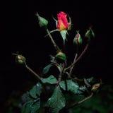 rosa krople wzrastali Zdjęcie Royalty Free