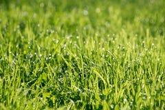 rosa kropli świeżej trawy Zdjęcie Royalty Free