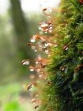 rosa kropli moss Obrazy Stock