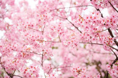 Rosa körsbärsröd blomning Royaltyfri Bild