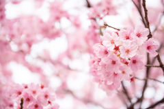Rosa körsbärsröd blomning Royaltyfri Foto