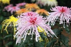 Rosa krysantemum Royaltyfria Bilder