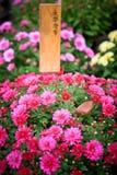 Rosa krysantemum Royaltyfri Foto