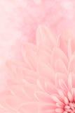 Rosa krysantemum Arkivbilder