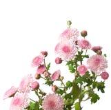 Rosa krysantemum Royaltyfria Foton
