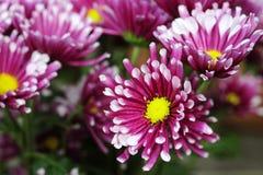 Rosa krysantemum eller Pom Pom Mums, blom med vita spetsar fotografering för bildbyråer