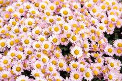 Rosa krysantemum för blom- bakgrundsblomma i den trädgårds- sängen Fotografering för Bildbyråer