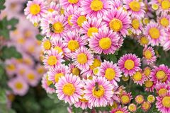 Rosa krysantemum för blom- bakgrundsblomma i trädgården Royaltyfri Foto