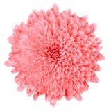 Rosa krysantemum för blomma som isoleras på vit bakgrund knoppcloseblomma upp element för klockajuldesign Arkivbild