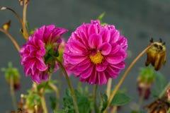 Rosa krysantemum i blommaträdgården royaltyfri bild