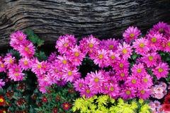 Rosa krysantemum i trädgård arkivfoto
