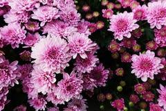 Rosa krysantemum i trädgård royaltyfria bilder