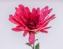 Rosa krysantemum med små droppar av vatten på vit bakgrund, cl Arkivbild