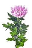 Rosa krysantemumblomma i blom Arkivfoton