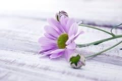 Rosa krysantemumblomma på den lantliga vita trätabellen Royaltyfria Bilder