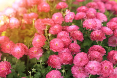 Rosa krysantemumblommaträdgård i solsken Royaltyfria Bilder