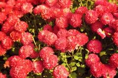 Rosa krysantemumblommaträdgård i tonad varm ljus tappning Royaltyfri Bild
