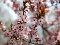 Rosa kulör filial för körsbärsröd blomning i trädgården mot blått sk Arkivbilder