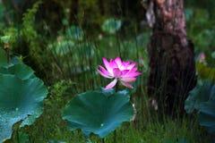 Rosa kunglig lotu i trädgården Royaltyfri Fotografi
