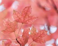 Rosa lönnlöv på träd Royaltyfri Foto