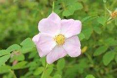 Rosa lösa rosa blom i försommar Hennes blommor är mycket doftande och härliga arkivfoton