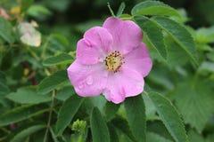 Rosa lösa rosa blom i försommar Hennes blommor är mycket doftande och härliga royaltyfri foto