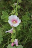 Rosa lösa blommor är blommande ensamt vandringsledet royaltyfri foto