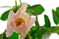 Rosa löst steg Fotografering för Bildbyråer