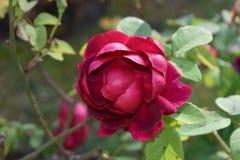 Rosa X : L.D. Braithwaite rosaceae Royalty Free Stock Image
