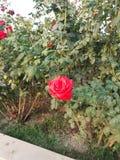 Rosa la bellezza perfetta della natura Fotografie Stock Libere da Diritti