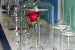 Rosa in laboratorio fotografia stock libera da diritti