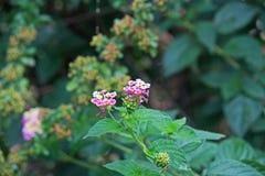 Rosa lantanablommor royaltyfria foton