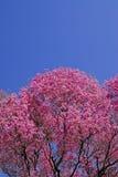 Rosa lapacho Baum Stockbild