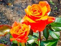 Rosa lat för te Rosa odorata eller hybrid- variation för doftande ros-en av rosor som tillbaka daterar till den kinesiska rosen royaltyfria bilder