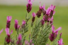 Rosa lavendel Fotografering för Bildbyråer