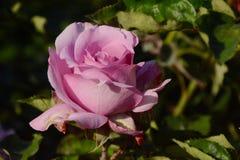 Rosa Lavendel Rose Lizenzfreies Stockbild