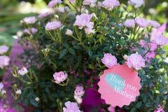 Rosa Lebenslauf Rosa chinensis Minimum für Mutter-Tag Stockfotos