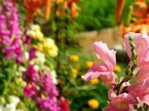 Rosa lejongap och många mångfärgade blommor Arkivbild