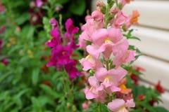 Rosa lejongapblommor arkivbild