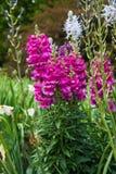 Rosa lejongapblommor som blommar i vårträdgård Royaltyfri Fotografi