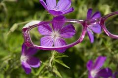 Rosa Lesebrille, die Blume ansieht stockfotos