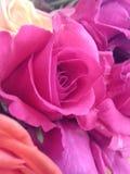 Rosa ligera del marrón imagen de archivo libre de regalías