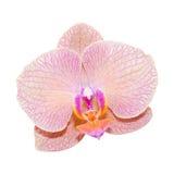 Rosa lila Orchidee der Nahaufnahme Stockfotos