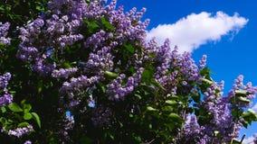 Rosa lila som förbiser den blåa himlen arkivfilmer