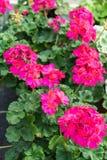 Rosa lilablomma som blommar i industriell odlinglantgård Arkivbild